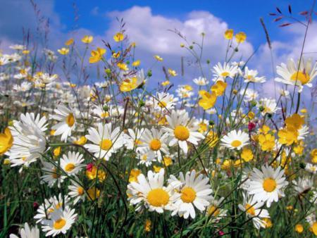 **Des belles fleurs, un champs de marguerites, fleurs , verdures \u0026 Des
