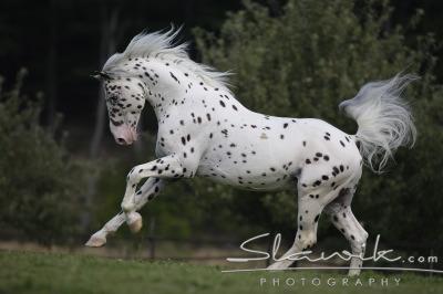 image cheval knabstrup