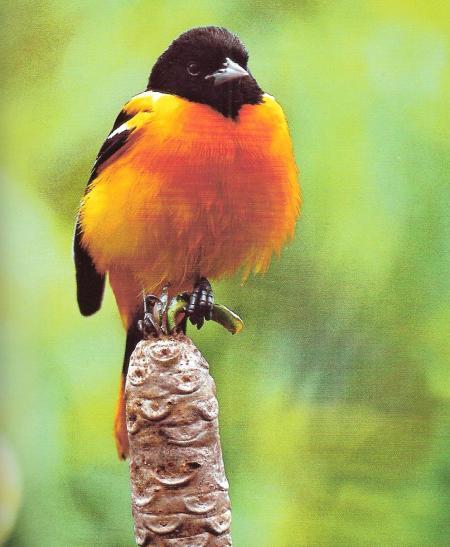 Paradis1 blog voyages limoges for Oiseau orange et noir